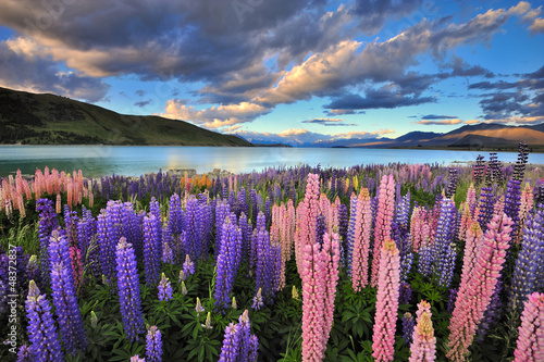 Montage in der Fensternische Neuseeland Lupines on the shore of Lake Tekapo, New Zealand