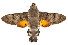 Hummingbird Hawk Moth Species Macroglossum Stellatarum