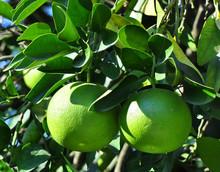 Two Grapefruit Citrus Ripen In The Garden