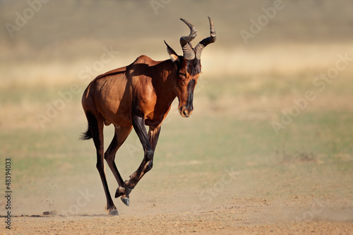 Poster Antilope Running red hartebeest