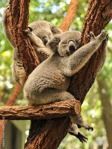 Garden Poster Koala Sleeping koalas