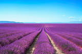 Lavender flower blooming fields on sunset. Valensole provence - 48438034