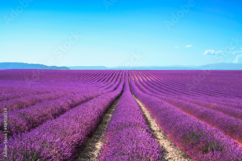 Prune Lavender flower blooming fields on sunset. Valensole provence