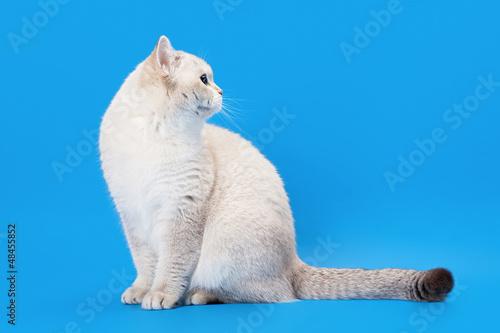 In de dag Ijsbeer young golden color point british kitten on light blue background