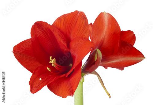 Photo Amaryllis Blüten isoliert