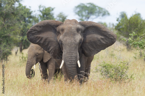 Photo African Elephant (Loxodonta africana) female with young, South A