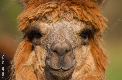 Canvas Prints Lama Alpaca face of female