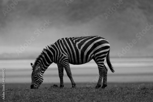 Canvas Prints Zebra Zebra