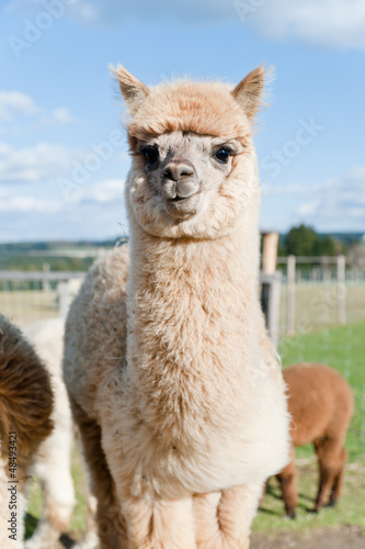 Cadres-photo bureau Lama Fluffy young Alpaca