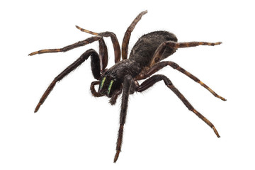 Fototapeta black spider species tegenaria sp