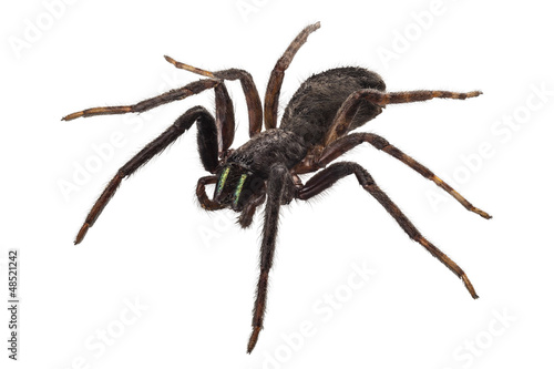 black spider species tegenaria sp Canvas Print