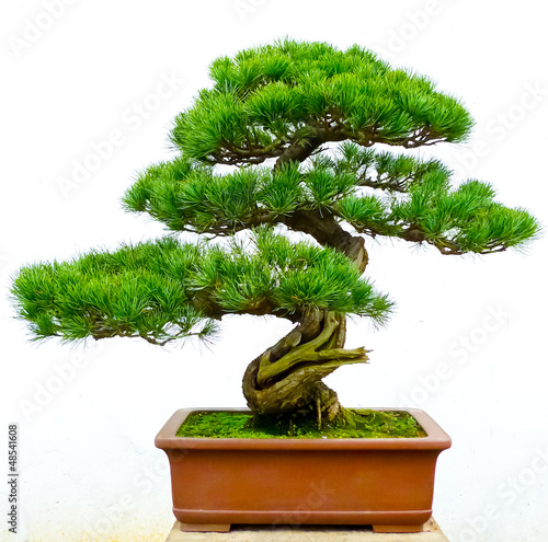 Spoed Foto op Canvas Bonsai Bonsai pine tree