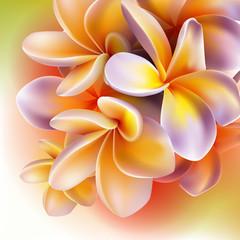 Fototapeta Kwiaty Frangipani flowers