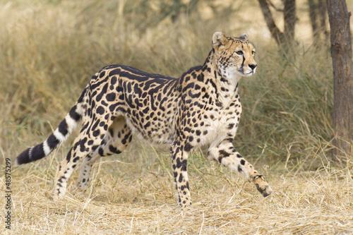Female King Cheetah (Acinonyx jubatus), South Africa