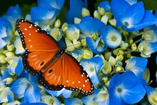 Queen Butterfly On Blue Hydran...