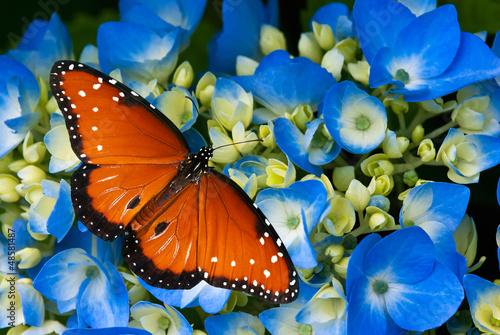 Queen butterfly on blue hydrangea flowers