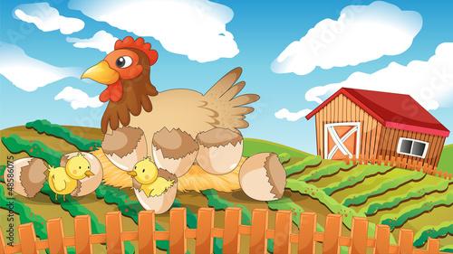 Spoed Foto op Canvas Boerderij A hen and chicks