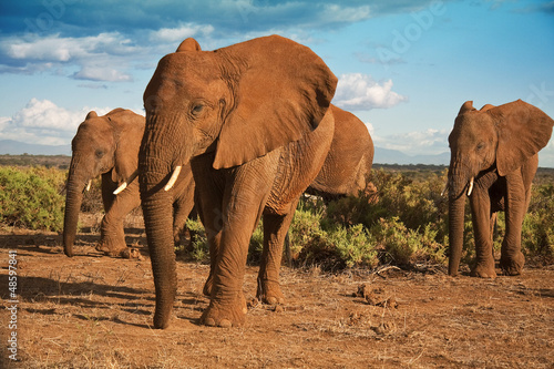 Fotobehang Olifant African elephant matriarchy against a blue sky