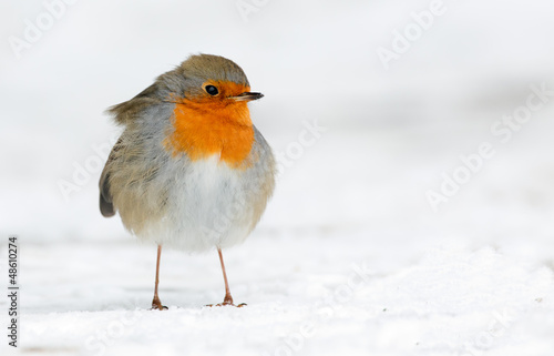 Photo  Robin in the winter