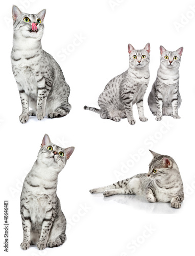 Photo  Egyptian Mau Cats