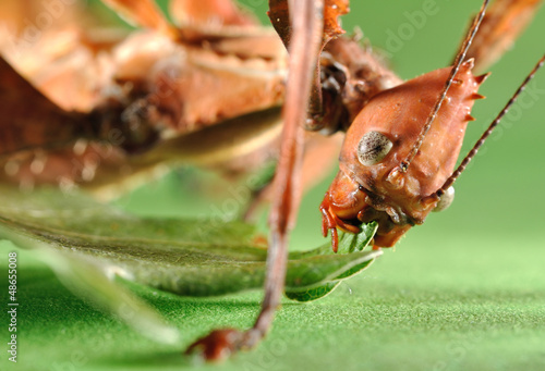 Photo  Extatosoma tiaratum