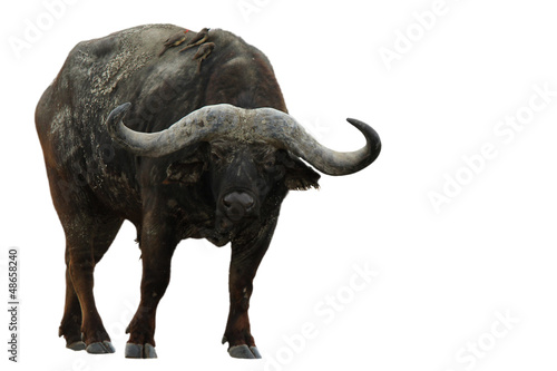 Photo sur Aluminium Buffalo buffalo