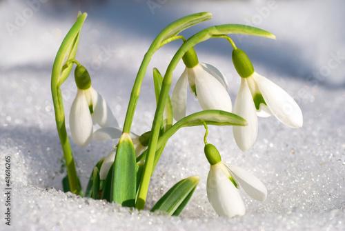 Fototapety, obrazy: Spring snowdrop flowers