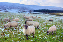 Flock Of Black Face Sheep Grazing In Winter.