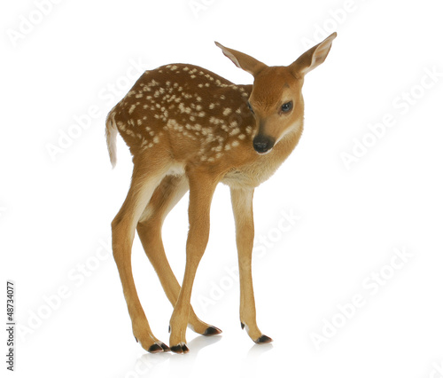 Poster Cerf fawn