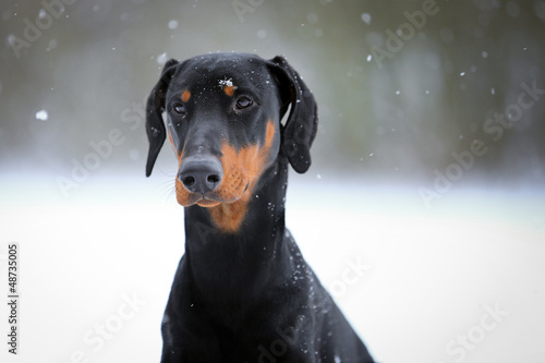 Hund - Dobermann Canvas Print