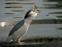 Night Heron Eat Fish