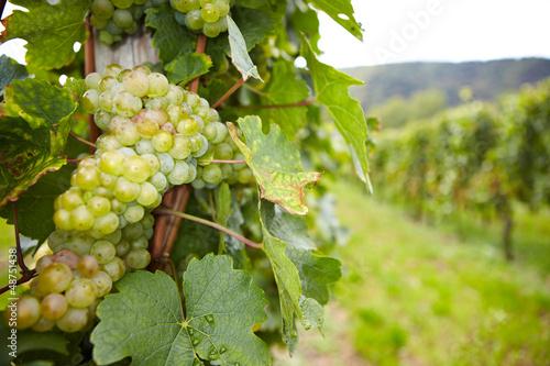 Fotografia  Weinstock mit Riesling-Weißwein-Trauben