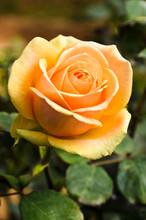 Beautiful Rose In The Garden