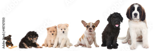 Poster Bouledogue français Different Breeds of Puppy Dogs on White