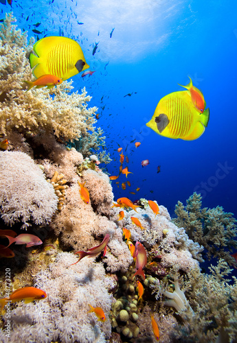 Tuinposter Koraalriffen Coral reef and Masked Butterfly Fish