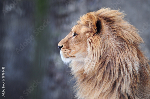 Tuinposter Leeuw Portrait of a lion in profile