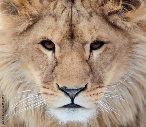 Staande foto Leeuw Portrait of a lion from the front