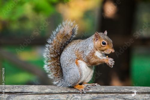 Foto op Canvas Eekhoorn scoiattolo americano