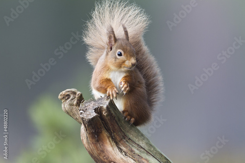 Fotografie, Obraz  Red Squirrel