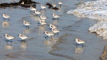 Sandpipers Running