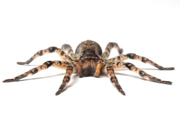 Fototapeta wolf spider over white