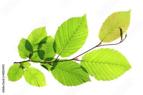 Fotografía Hainbuche  (Carpinus betulus)