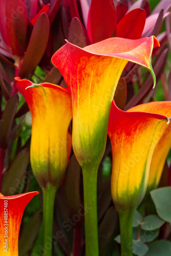 Fotografie, Obraz  Beautiful red and yellow day lilies.