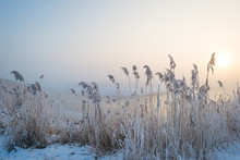 Frosty Reed Along A Canal In S...