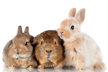 Two Baby Rabbits And A Guinea ...