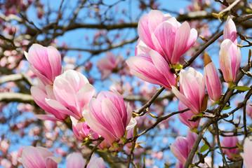Obraz na Szkle Do jadalni Magnolien vor blauem Himmel