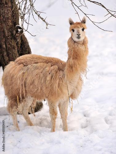 Poster Lama Alpaca