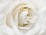 Weiße Rose für Wohnzimmer