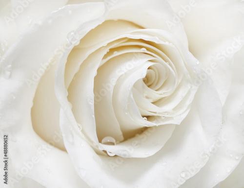 Obrazy kwiaty   biala-roza