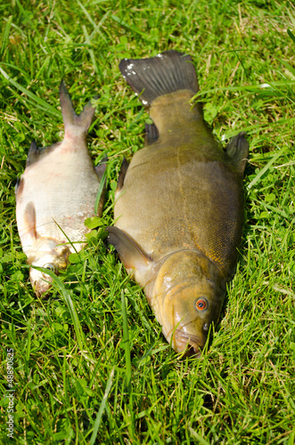 Valokuva lake fishes tench orange eye bream green grass